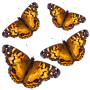5-dozen-painted-lady-butterflies-1358872771